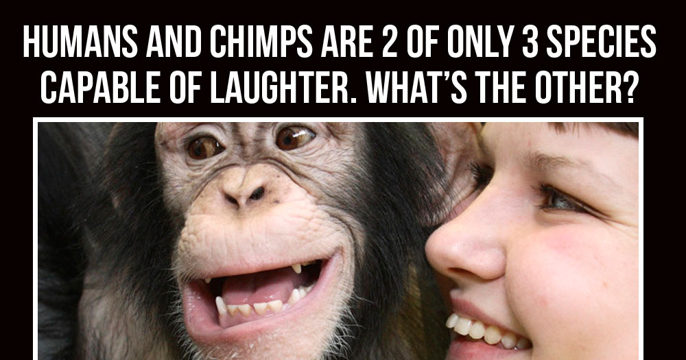 What Species Apart from Humans and Chimps are Capable of Laughter?
