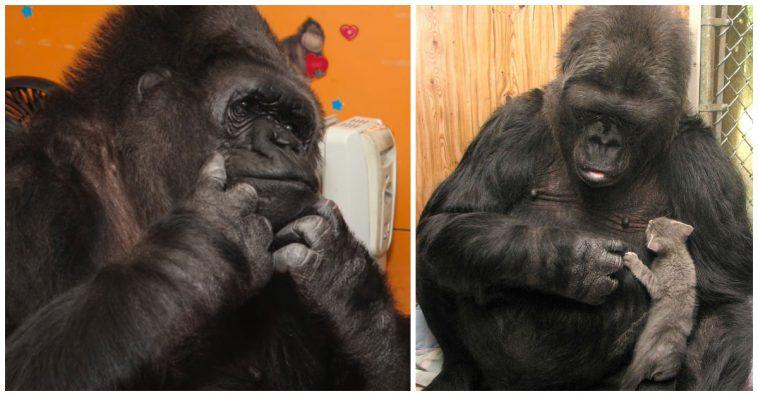 Koko Gorilla Tod