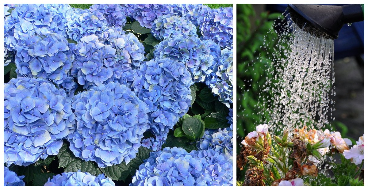 5 Tips For Growing Stunning Hydrangeas At Home