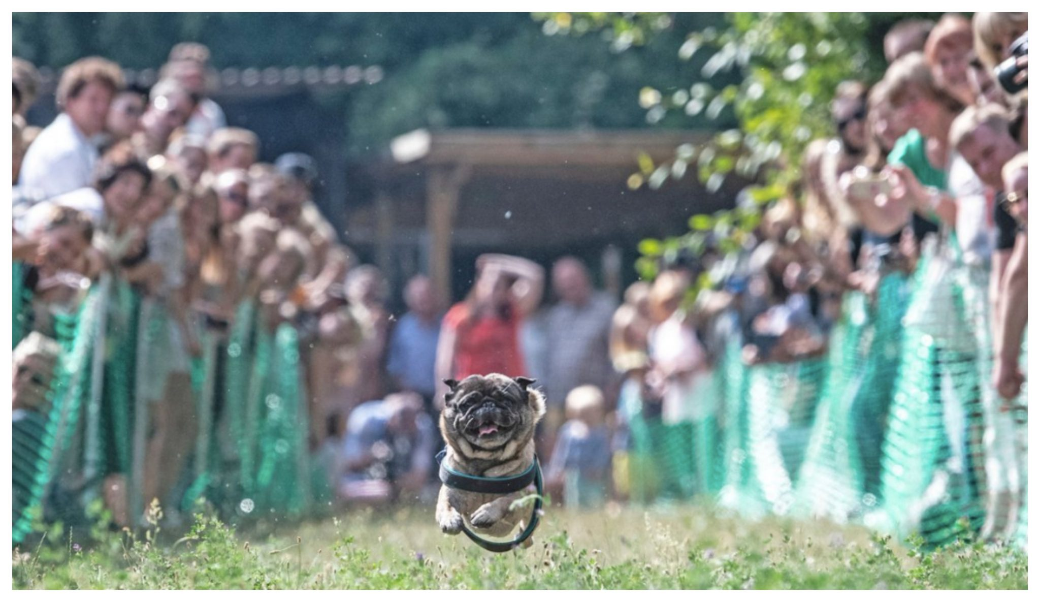 4-Year-Old Pug Crowned 'Usain Bolt Of Pugs' After Finishing Race In Less Than 6 Seconds