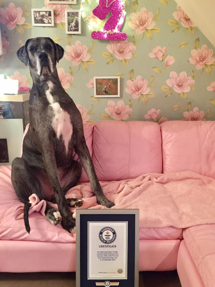 Freddy The 7-Foot-Tall Great Dane Has Sadly Died
