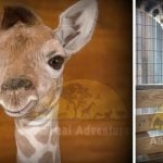 april-baby-giraffe