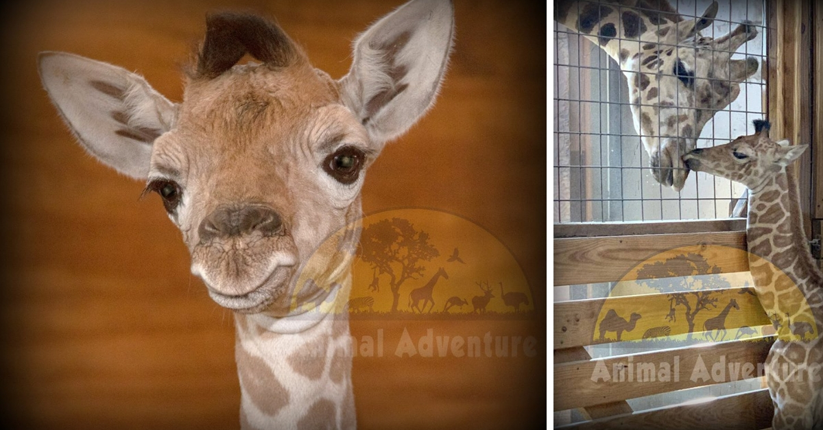 April The Giraffe Is A Mother For The 5th Time – See Her Adorable New Baby