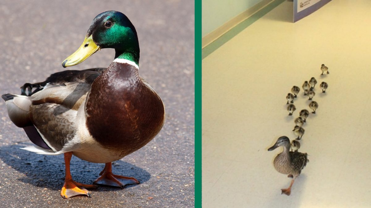 This New York Hospital Sees A Baby Duck Parade Every Year