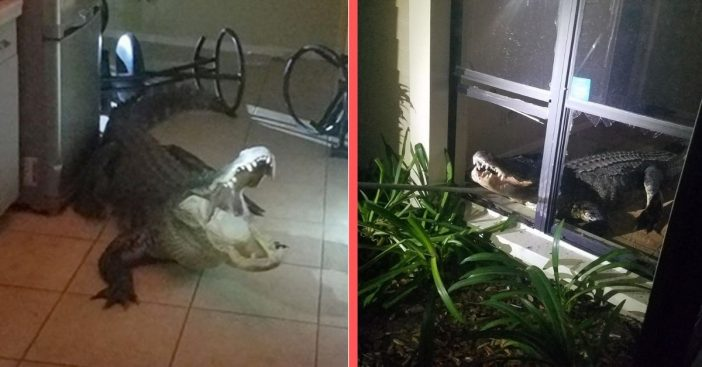 11 foot gator breaks into florida home