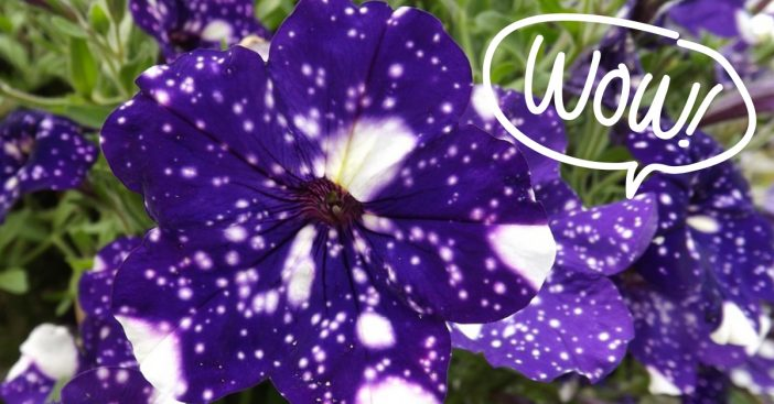 Learn how to plant these cool galaxy flowers
