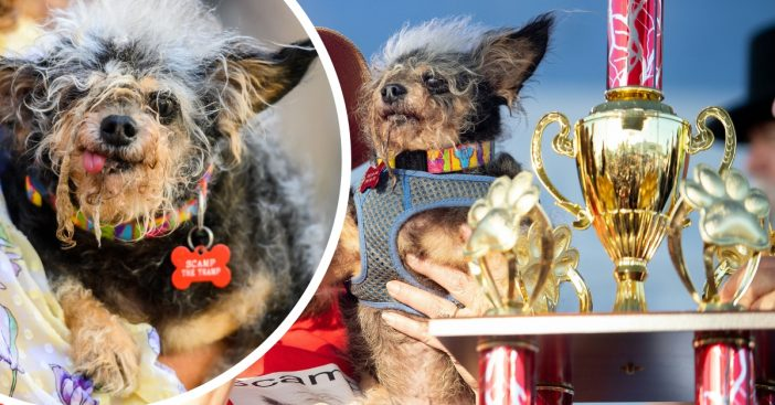 Meet Scamp the Tramp the winner of this years ugliest dog contest