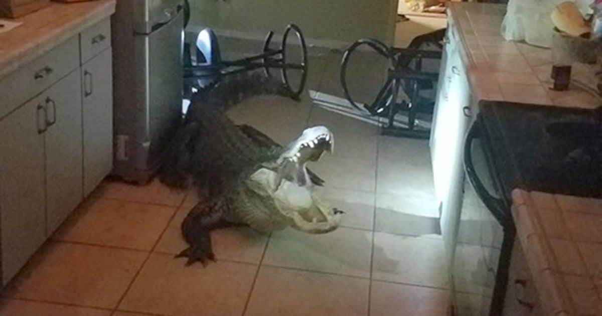 Gator breaking into Florida home