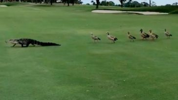 Watch Group Of Ducks Interrupt Golf Game And Chase Alligator Off The Course (1)