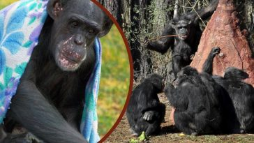 The World's Smartest Chimpanzee Has Died