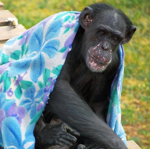 sarah the worlds smartest chimp