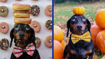 Lovable Dachshund Able To Perfectly Balance Objects On His Head