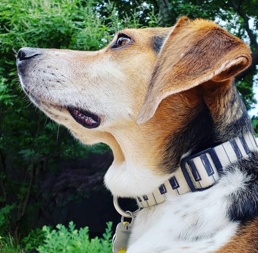 buddy mercury piano collar