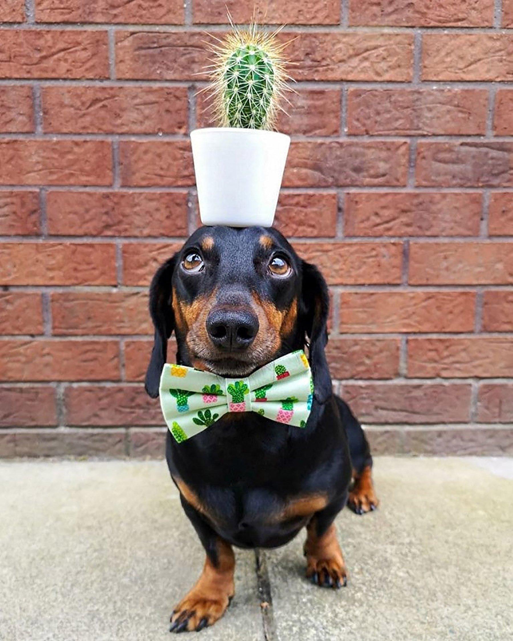 dog can balance items on his head