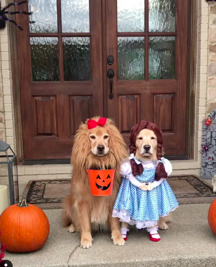 Golden retrievers dressed up as wizard of oz charcaters