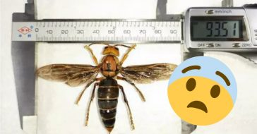 A giant killer wasp was found in China