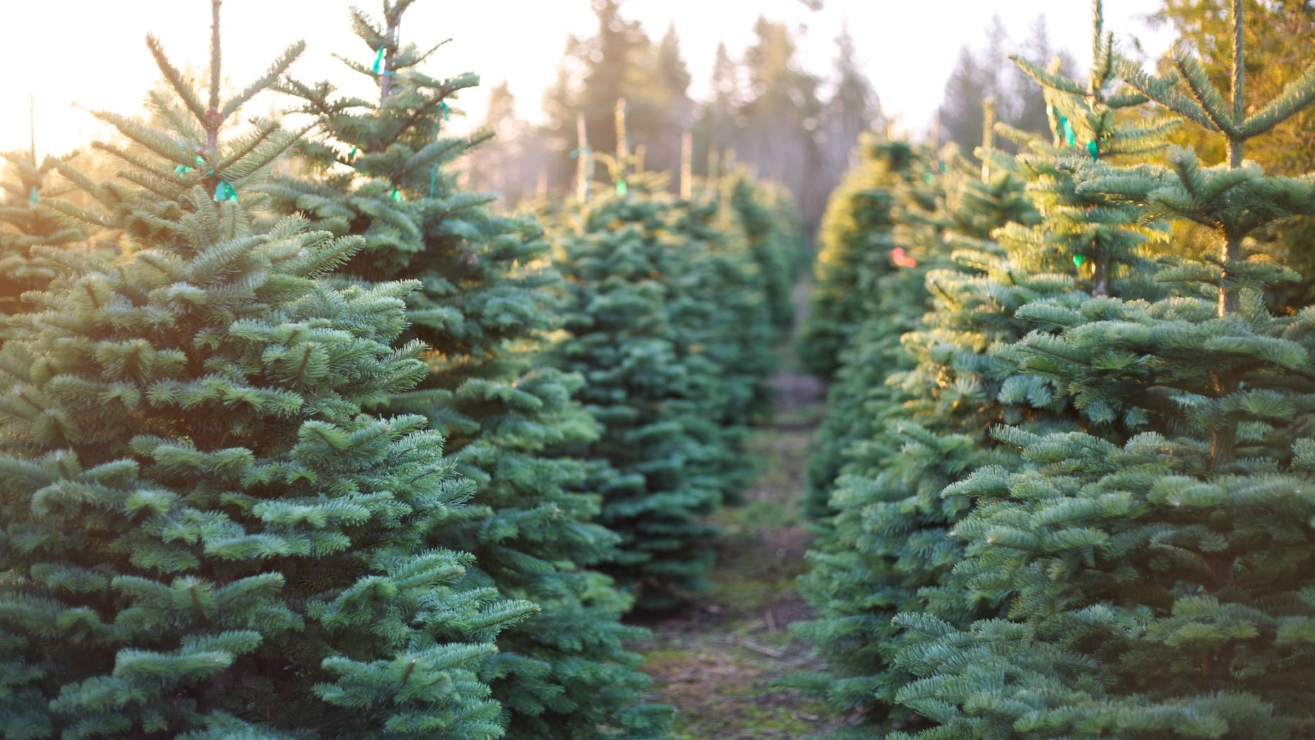 christmas trees may be more expensive