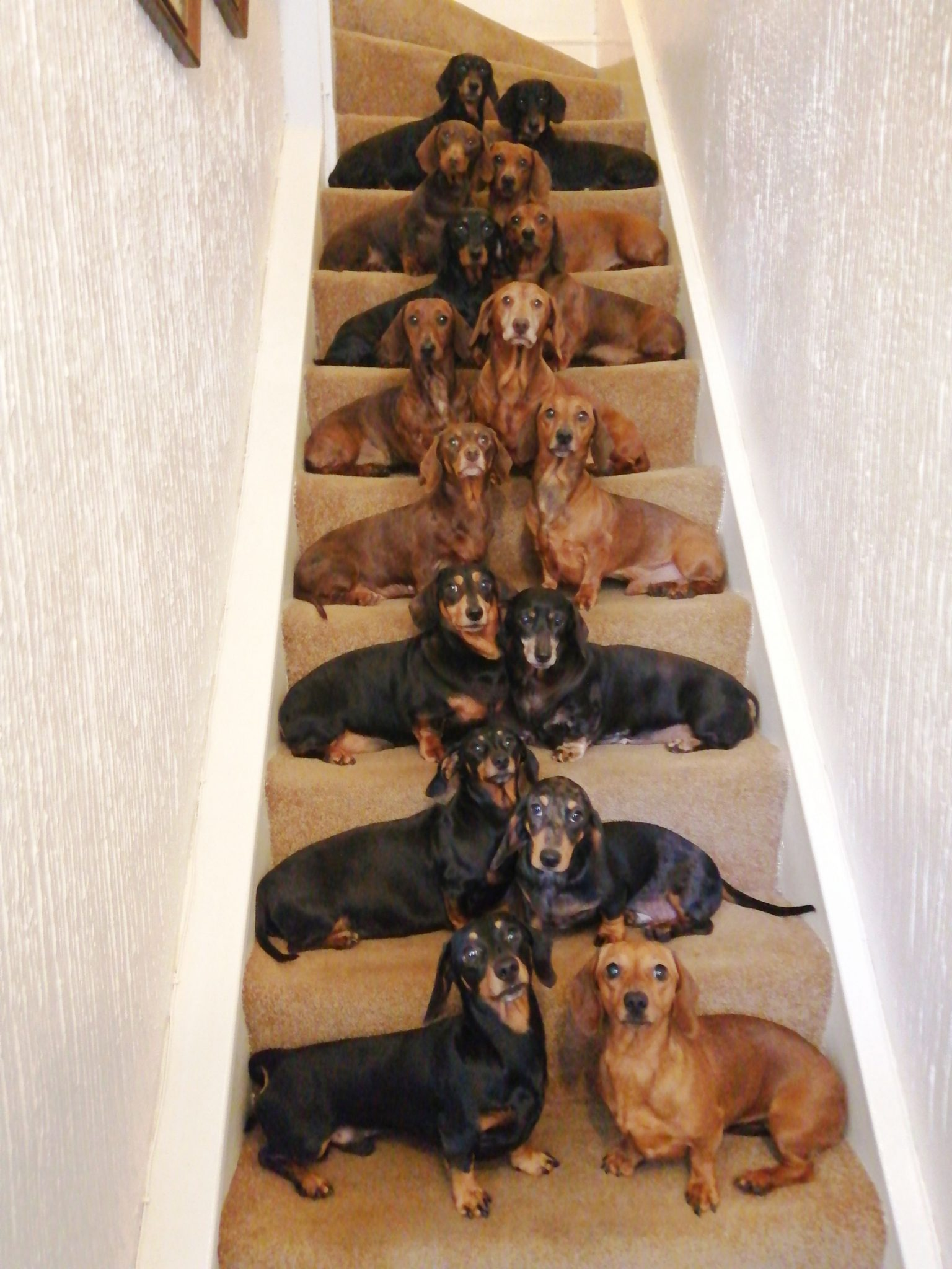 Dog Owner Gets His 17 Dachshunds To Pose For Festive Holiday Photo