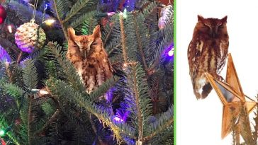 Georgia family finds an owl in their Christmas tree