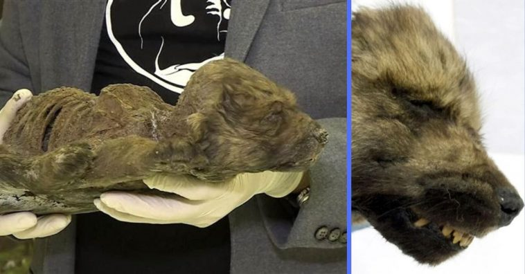 Scientists found an 18000 year old puppy in permafrost