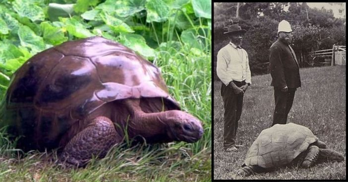 This 187-Year-Old Tortoise Is The Oldest Land Animal In The World