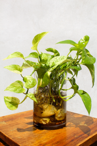 Golden pothos is a houseplant that keeps the air healthy after using chemicals