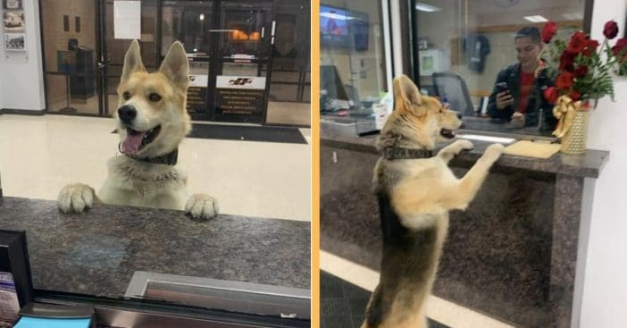Dog Shows Up At Police Station To 'Report Himself Missing'