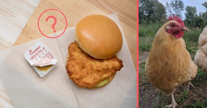 Shortage of small chickens could lead to shortage of fast food chicken sandwiches