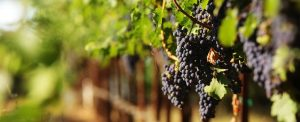 There are plenty of grapes to produce an abundance of wine...but there's already too much with little demand