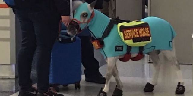 woman brings mini service horse onto flight