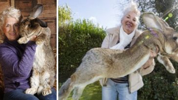 The Largest Rabbit On Earth, Darius, Weighs 49 Lbs And Is Over 4 Feet Long