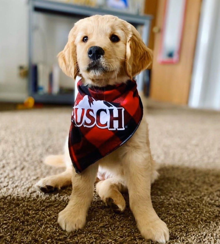 dog in a busch bandana