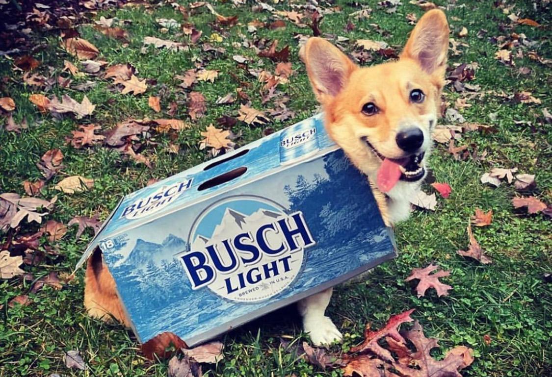 dog in a busch beer box