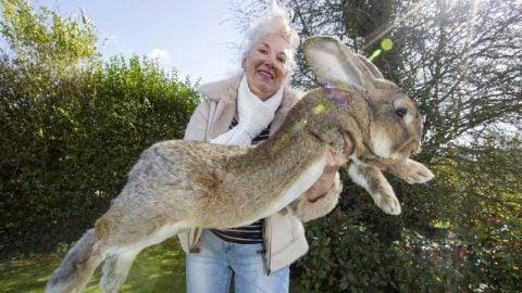 world's largest rabbit darius 49 lbs