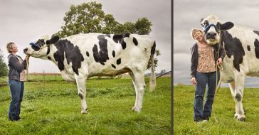 Blosom set a world record as the world's tallest cow several years ago