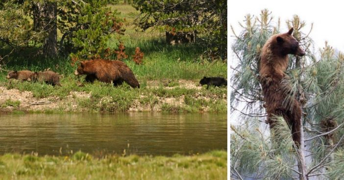 More bears are coming around during Yosemite National Park closures