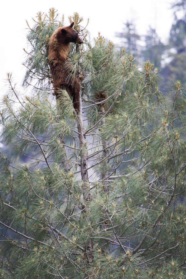 bear climbing a tree at yosemite