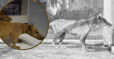 WATCH_ Footage From 1935 Of Last Known Tasmanian Tiger