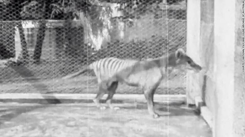 last known tasmanian tiger footage from 1935