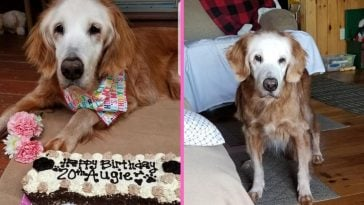 Dog becomes oldest Golden Retriever in history