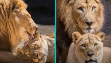 elderly lion couple put to sleep at the same time