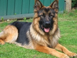 German Shepherds typically weigh 66 to 88 pounds but Blue was 30 pounds below average