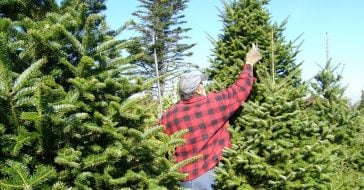 How to pick the perfect live Christmas tree