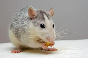 When rodents got hungry, paper usually went first