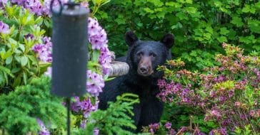 Bear sightings in suburban areas are increasingly common