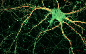 Our responses to the world around us are in part from neurons working iwth and sending out information of their own