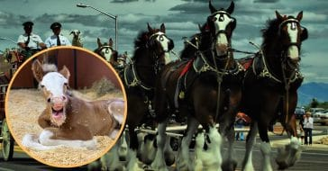 Budweiser Introduces New Baby Clydesdale